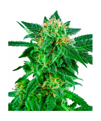 Comprar Snow Ryder de White Label Seeds