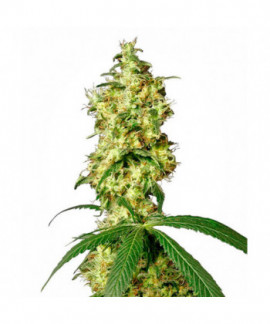 comprar White Widow Auto de Sensi White Label