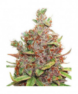 comprar Auto Glueberry OG de Dutch Passion
