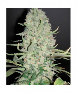 comprar White Widow x Big Bud