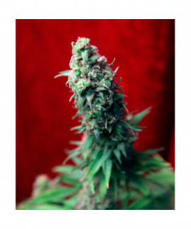 comprar Blackdance de Reggae Seeds