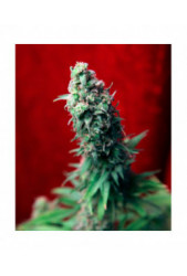 Blackdance de Reggae Seeds