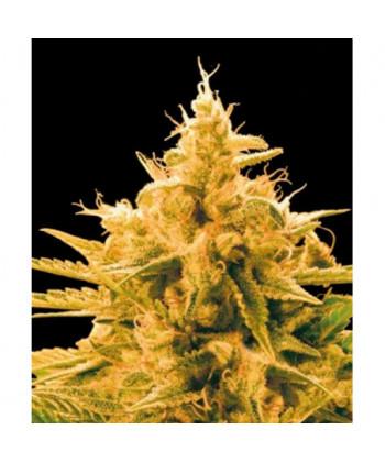 Comprar Ananas Funk de Bulk Seed Bank