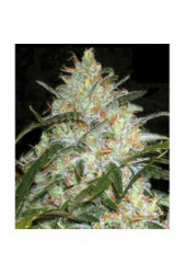 Grapefruit de Bulk Seed Bank