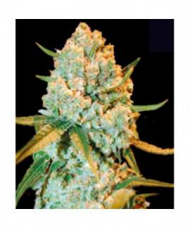 comprar Special Crystal Haze de Bulk Seed Bank