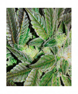 comprar Sugar Candy de Delicious Seeds