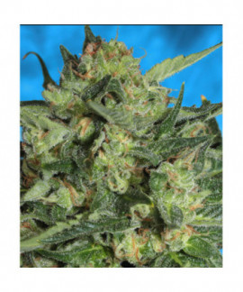 comprar White Russian Auto de Serious Seeds