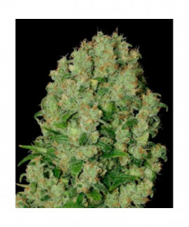 comprar White Russian Regular de Serious Seeds