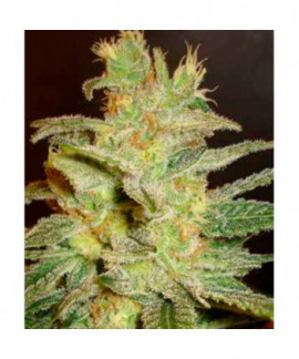 Northern Light x Big Bud (Medical C)