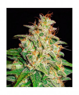 comprar Mazar x White Rhino ( Medical C.)