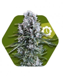 comprar Northern Lights XL-Auto