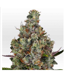 comprar Rainbow Road de Paradise Seeds