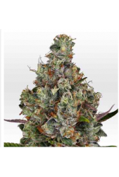 Rainbow Road de Paradise Seeds