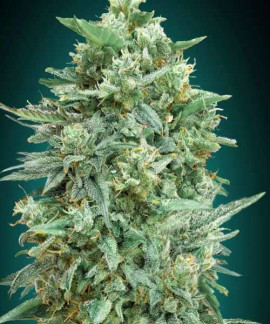 comprar Auto Northern Lights XXL