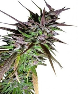 comprar Purple Pakistani Haze