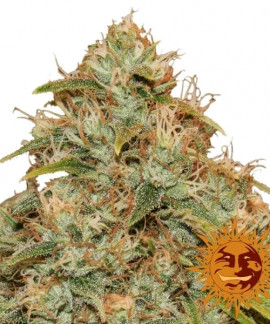 comprar CBD Lemon Potion Auto