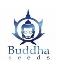 Semillas Buddha Seeds Feminizadas