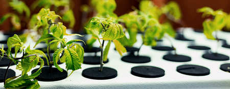 Pasos a seguir para germinar las semillas de marihuana
