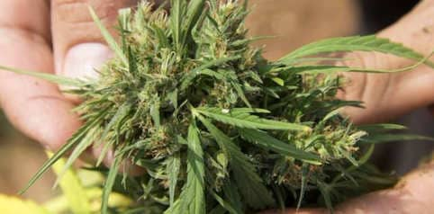 Algunas variedades de marihuana son 100% geneticamente puras
