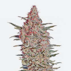 El Banco de Semillas Delicious Seeds Regulares
