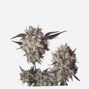 El Banco de Semillas Dna Genetics Seeds Regulares