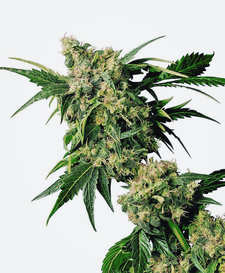 El Banco de Semillas Exclusive Seeds Regulares