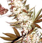 Efectos beneficiosos del THC