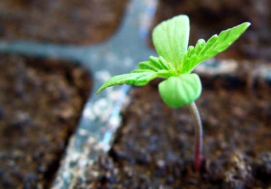 guía para cultivas marihuana en tu casa