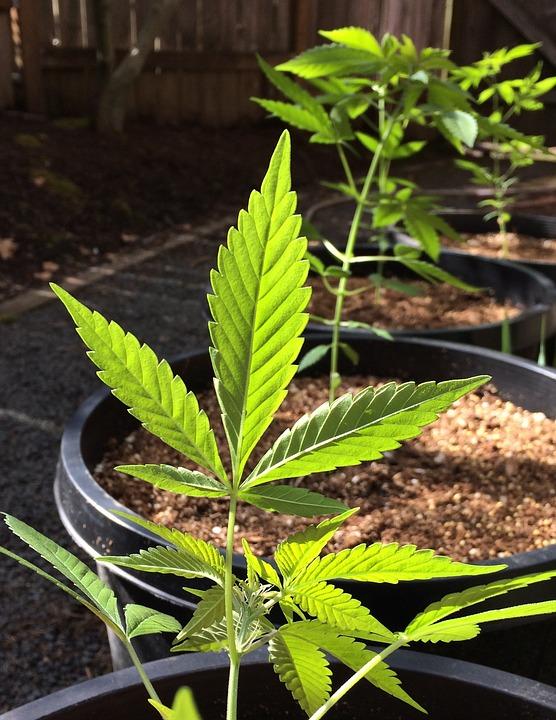 La mejor forma de germinar marihuana