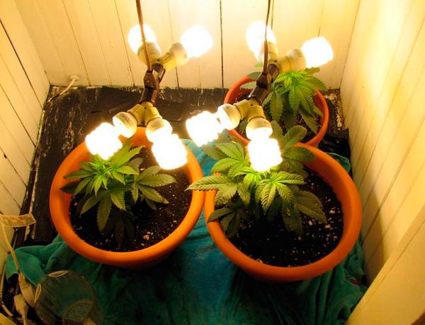 cómo plantar marihuana en casa