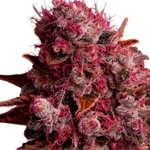 Características de las Semillas de Cannabis Northern Light