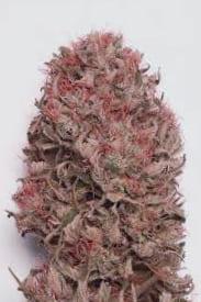 Características de las semillas de marihuana recomendadas