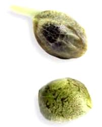 Características de las semillas Blue Rhino