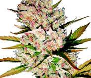 Características de las Semillas de Cannabis Amnesia