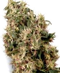 Caracteristicas de las Semillas de Cannabis Cheese