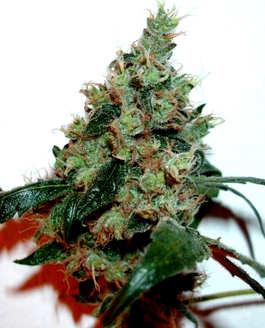 Características de las Semillas de Cannabis Diesel
