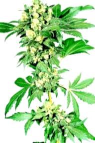 Catalogo completo de las Semillas Bcn Seeds Autoflorecientes