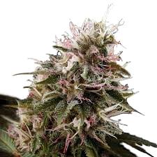 Catálogo de semillas de marihuana autoflorecientes Exotic Seeds
