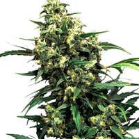 Compra de semillas de marihuana Wappa
