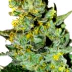 ¿Por qué comprar semillas de marihuana White Siberian?