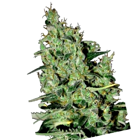 Propiedades de las semillas de marihuana White Ice