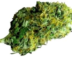 ¿Por qué comprar la Semilla de Marihuana Maxi Gom?