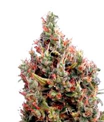¿Por qué comprar la Semilla de Marihuana Karamel?