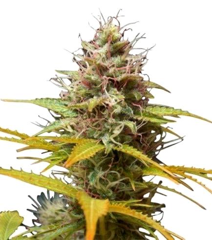 Opiniones de las Semillas de cannabis Ministry Seeds Autoflorecientes