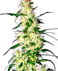 Semillas de marihuana Advanced Seeds Autoflorecientes