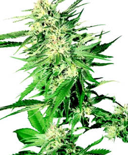 Comprar Semillas de Marihuana Advanced Seeds Autoflorecientes