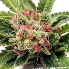 Comprar Semillas de Marihuana Blimburn Seeds Autoflorecientes