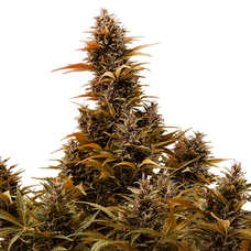 Comprar semillas de marihuana autoflorecientes Nirvana