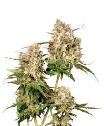 Opiniones de las Semillas Exclusive Seeds Autoflorecientes