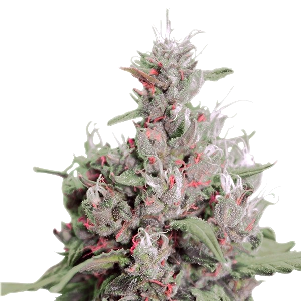 Comprar Semillas Super Strains Seeds Autoflorecientes
